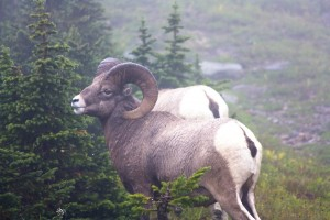 Bighorn Sheep at the Pass