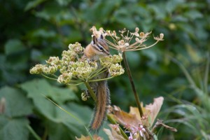 Chipmunk on Cow Parsnip