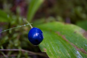 Single Blue Berry (not a blueberry)
